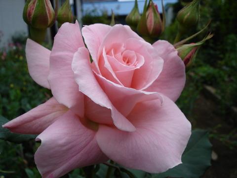 メアリーローズ春の花