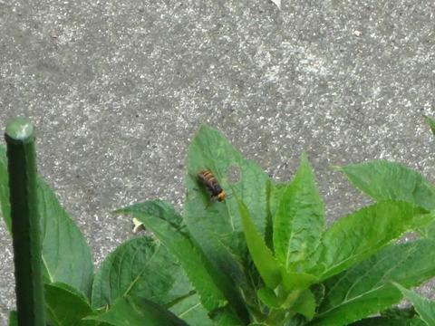 羽を休めるコスズメバチ