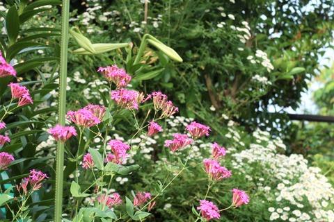 20210618ムシトリナデシコ花壇