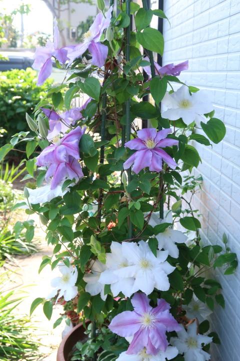 鉢植えのクレマチス5月2日