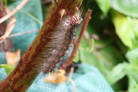 20200613マイマイガ幼虫1