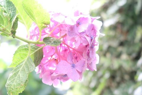 紫陽花とたいょう