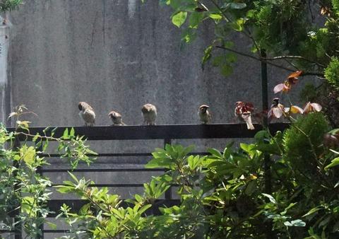 フェンスに並んだ雀