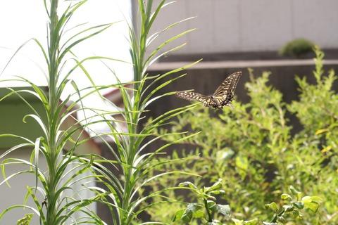 9月7日アゲハ蝶