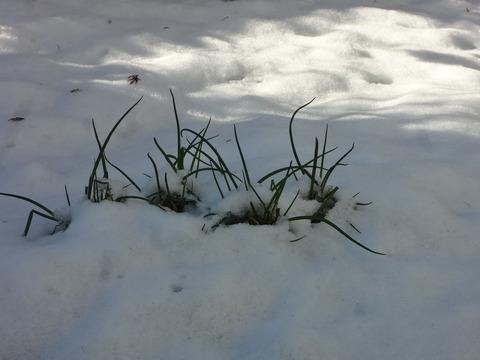 雪の中のネギ
