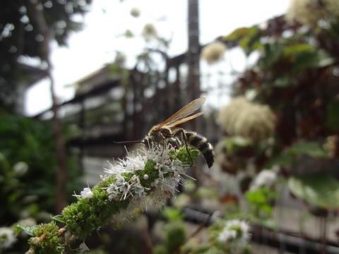 キンケハラナガツチバチ2