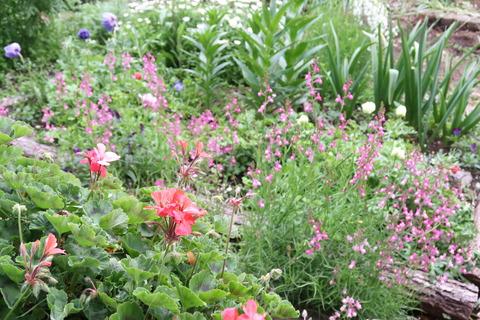 20210503リナリアのある花壇