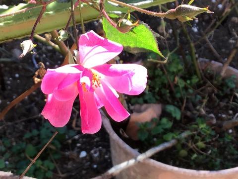 ラベンダードリーム冬の花