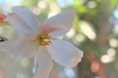 ベゴニア花
