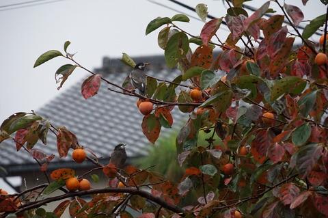 11月6日柿食うムクドリ