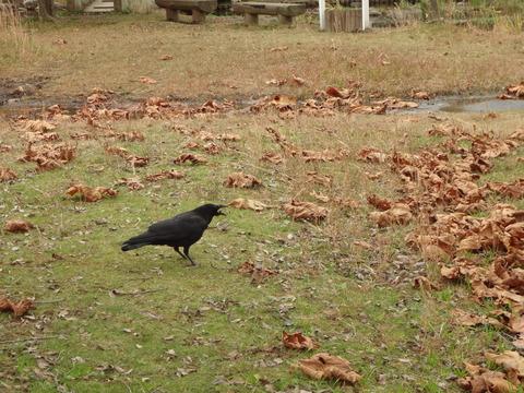 11月公園のカラス