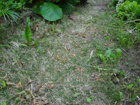 芝肥焼けす