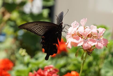 20170903花と蝶