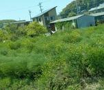 �河和線からみえた菜の花
