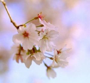 今年見た最初の桜