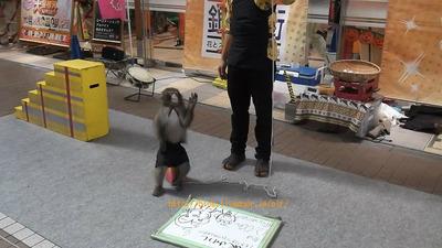 日本の猿回し 世界の猿回し
