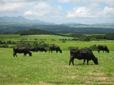久住高原の牛たち