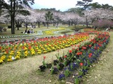 別府公園の桜2