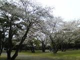 別府公園の桜1