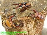 cameroon-lucanidae-xmas