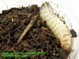 psc-larva