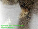 preussi-larva