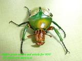 pythia-male