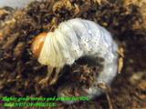 larvaeastlf