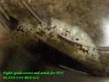 ckw-larva