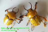 fruhstorferia-yellow
