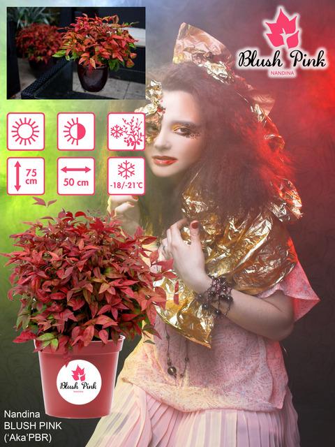 Nandina Blush Pink - poster