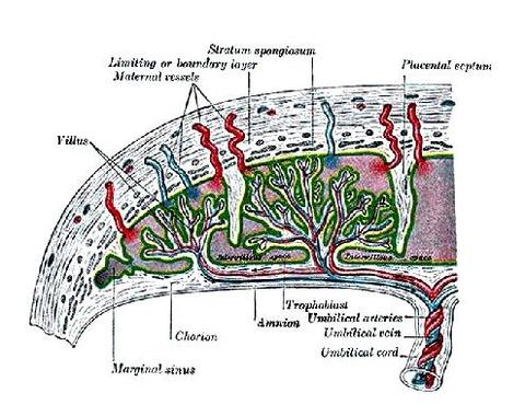 胎盤の構造図