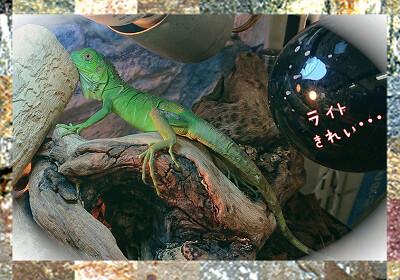 iguana200709