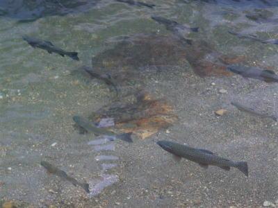 銀山温泉郷の川にいた魚。