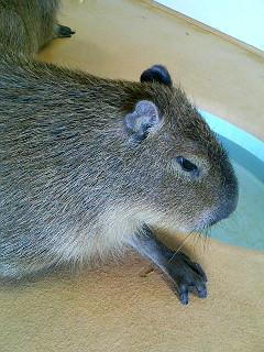 kaiyukapibara