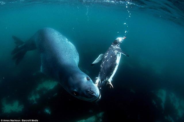 アザラシ怖い・・・・。ペンギンが捕食される最後の瞬間