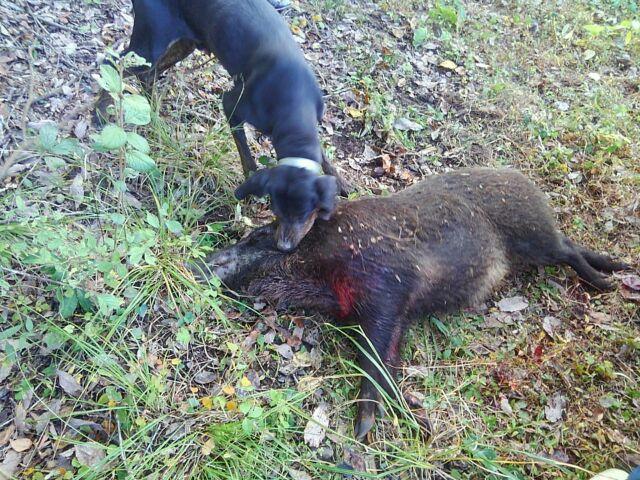 出猟5日目 : 猟犬 プロットハウンド 猪