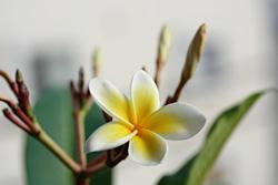 二つめの花芽