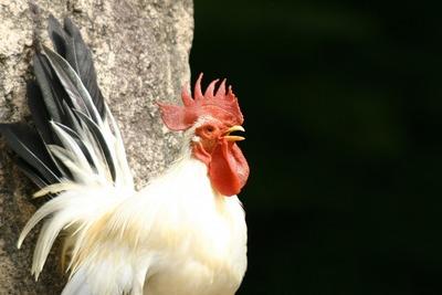 【画像】鶏さん、自分が鶏だという事を忘れてしまうwwww