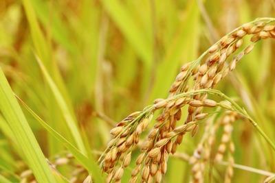 米農家「稲の成長に合わせて水抜きしたらオタマジャクシ干からびたからヴィーガン米食べれないね」