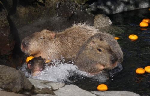 Capybara_Izu_Shaboten_001