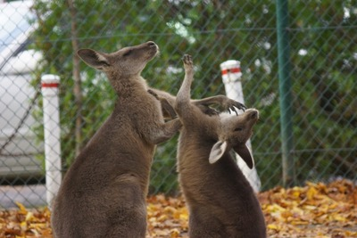 kangaroo-punch-battle