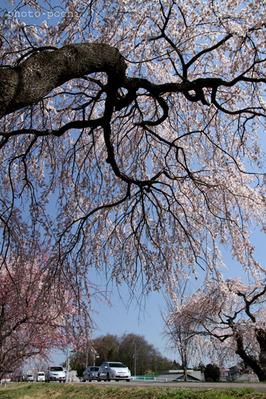 大野極楽寺公園・枝垂桜。