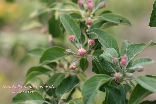 2016.5.22.リンゴの花1