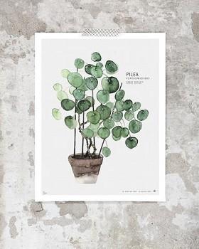 pilea_large