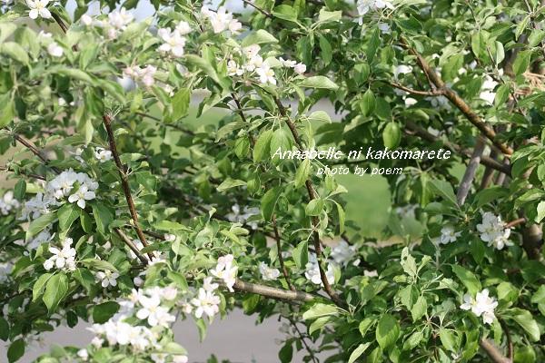 2016.5.22.リンゴの花2