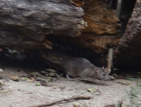 ネズミ (1)