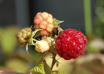 raspberry-03