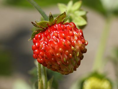 wildstrawberry-08