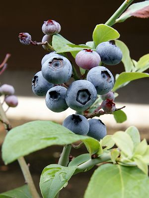 blueberry-24